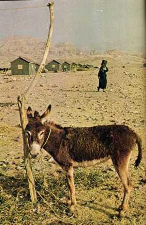 Burro_y_desierto_safi_jordan_1971_n
